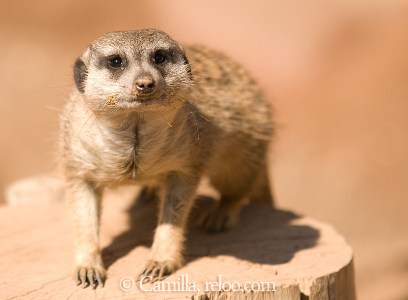 Surikat / Meerkat