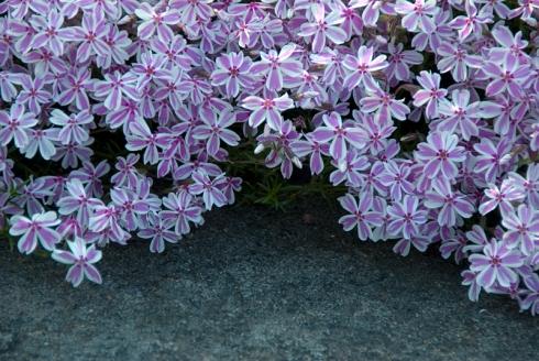 Blommor vid sten