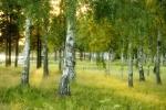 Björkskogen i Falun