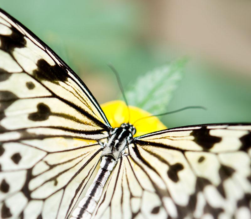 Fjäril, Butterfly