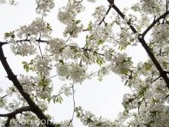 Körsbärsträdsblomning