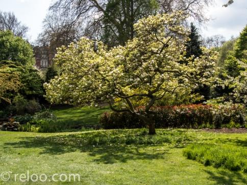 Magnoliaträd, Hyde Park, London
