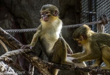 En disträ apa på Zoologic de Barcelona