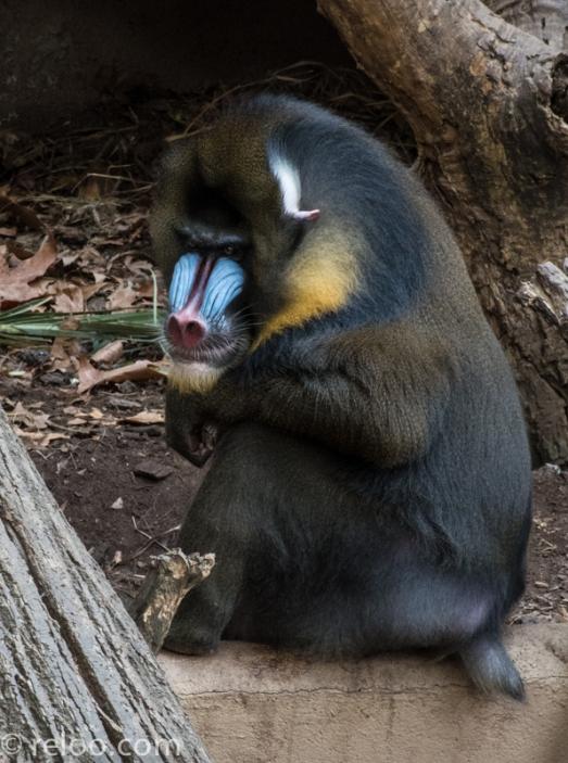 En intrigerande apa på Zoologic de Barcelona