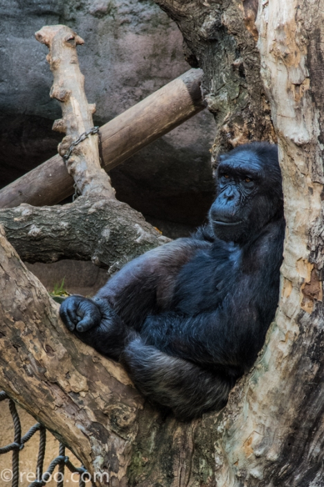 En filosofierande apa på Zoologic de Barcelona