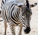 En zebra på Zoologic de Barcelona