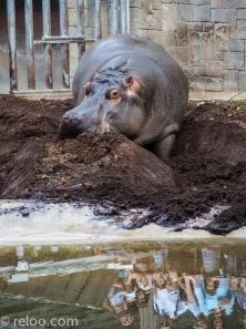 Flodhäst på Zoologic de Barcelona