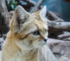 Berlin Zoo - Sandkatt
