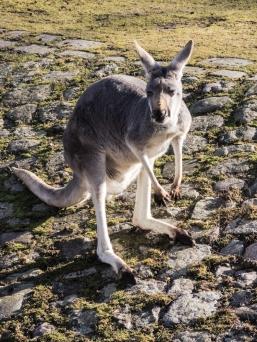 Berlin Zoo - Känguru