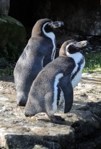 Berlin Zoo - Någon variant av pingvin