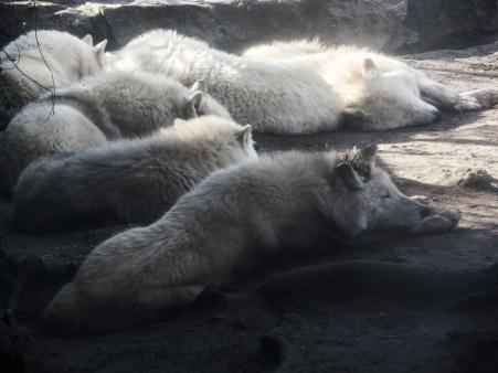 Berlin Zoo - Kanadensiska vargar som hade en del problem inom flocken.