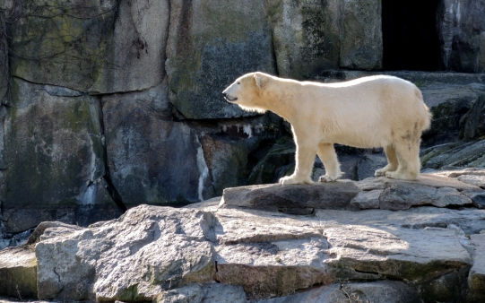 Berlin Zoo - En isbjörn som verkade ha ticks
