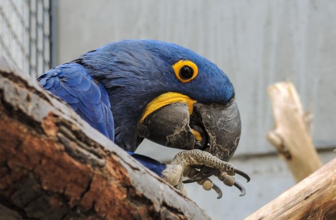 Berlin Zoo - Blå ara