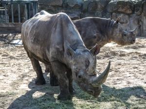 Berlin Zoo - Noshörningar