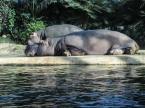 Berlin Zoo - Mor och dotter flodhäst