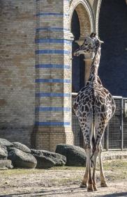 Berlin Zoo - Giraff