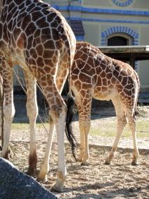 Berlin Zoo - Giraffer