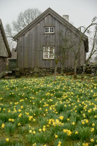 Äskhults by och påskliljor