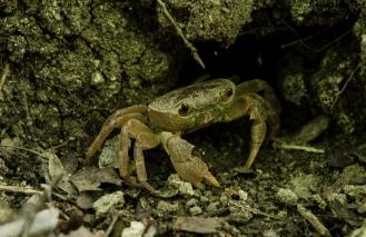 En krabba i fjärilsdalen
