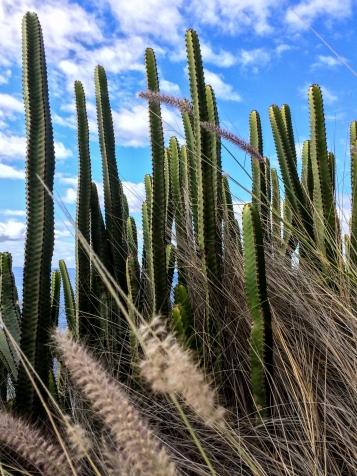 Kaktusar vid kusen